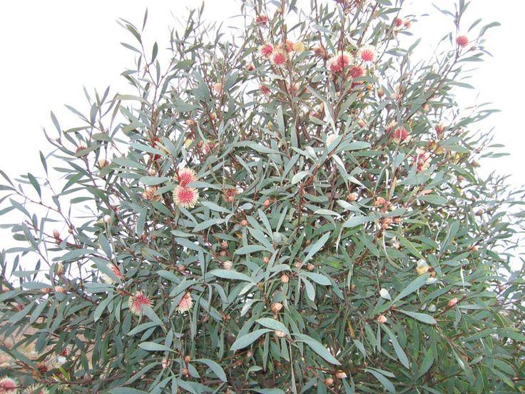 hakea laurina tree | Hakea laurina finally bloomed