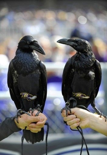 Find this Pin and more on RISE u0026 CONQUER (OUR RAVENS) by bawlmrgrl. & 86 best Ravens Love images on Pinterest islam-shia.org