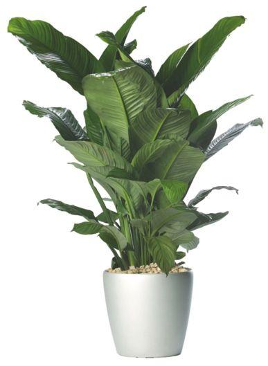 246 best indoor plants images on pinterest indoor house for Low maintenance potted plants indoor