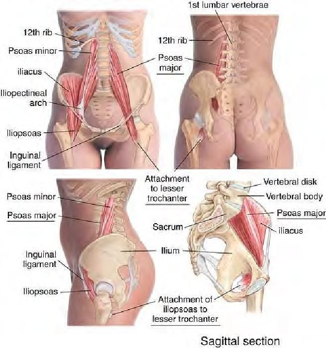 Relieve low back pain by getting a therapeutic massage on this muscle. Hip Flexor- Psoas Major and Illiacus
