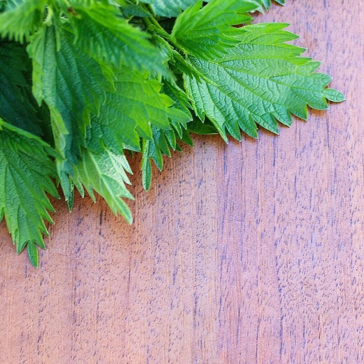 Nettle Oil is one of the key ingredients in our HairScalp range. Anti-inflammatory and antiseptic it assists in the prevention of dandruff irritation and itching. An excellent scalp cleanser; toning of the scalp is achieved through increased micro circulation. #trichovedic #hairwisdom #luxuryhaircare #trichovedicingredients
