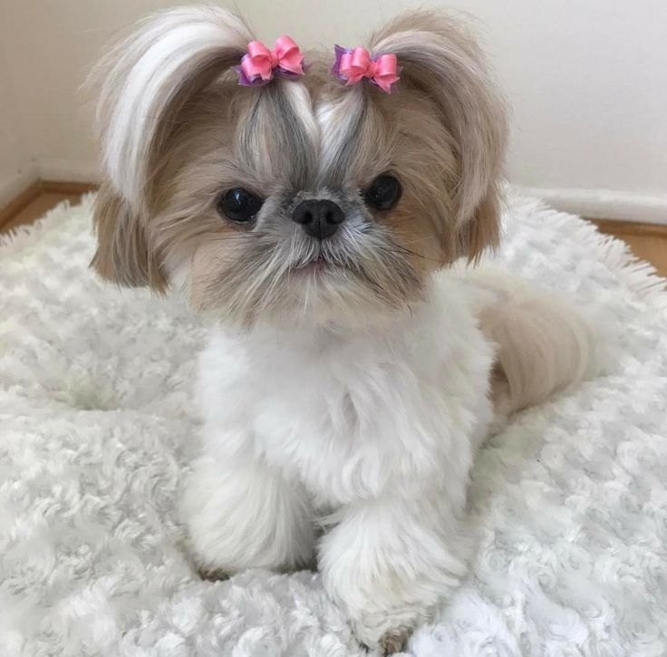 Most Inspiring Shih Tzu Anime Adorable Dog - 23bd7c752fe6bce3798427d2aeb4c9d3--shih-tzu-so-cute  Image_85463  .jpg
