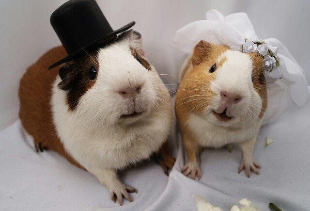 Guinea Pigs... Awww... So adowwable... Where you going on your honeymoon...?