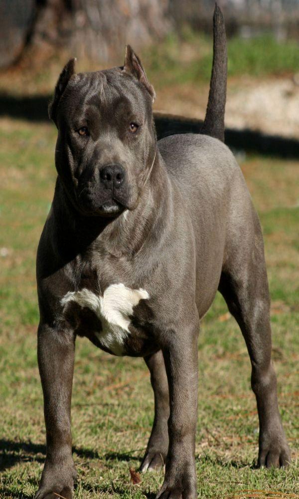 Pitbull -- pitbulls nationality -- Click VISIT link for more