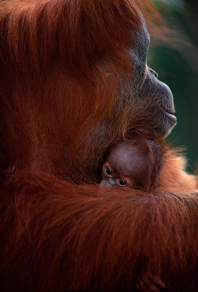 Orangutanes, como el Rey Louie