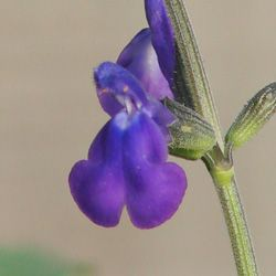 Salvia x 'Nuevo Leon'