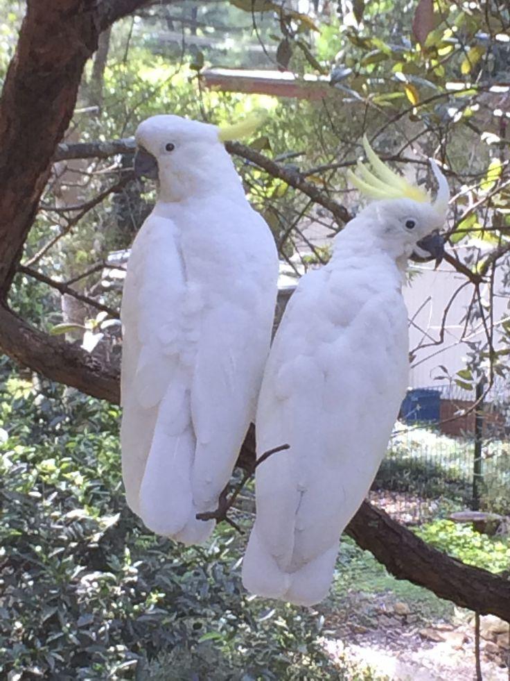 Sulphur Crested Cockatoos - taken in our back garden, The Blue Mountains, Australia