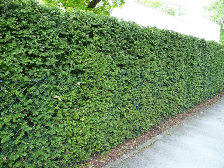 Evergreen Yew Hedge Privacy Screening Living G
