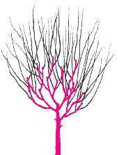 PRUNE A FOUR YEAR OLD TREE    Prune from December to February. Pruning is the similar to the three-year old tree - the pink coloured parts of the tree show growth in the previous year, this should not be pruned unless it is diseased. The black coloured side shoots should all be pruned by a third.    Always prune to just above an outward facing bud.
