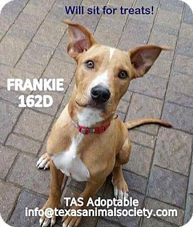 Spring, TX - Boxer/Labrador Retriever Mix. Meet Frankie, a dog for adoption. http://www.adoptapet.com/pet/14570267-spring-texas-boxer-mix