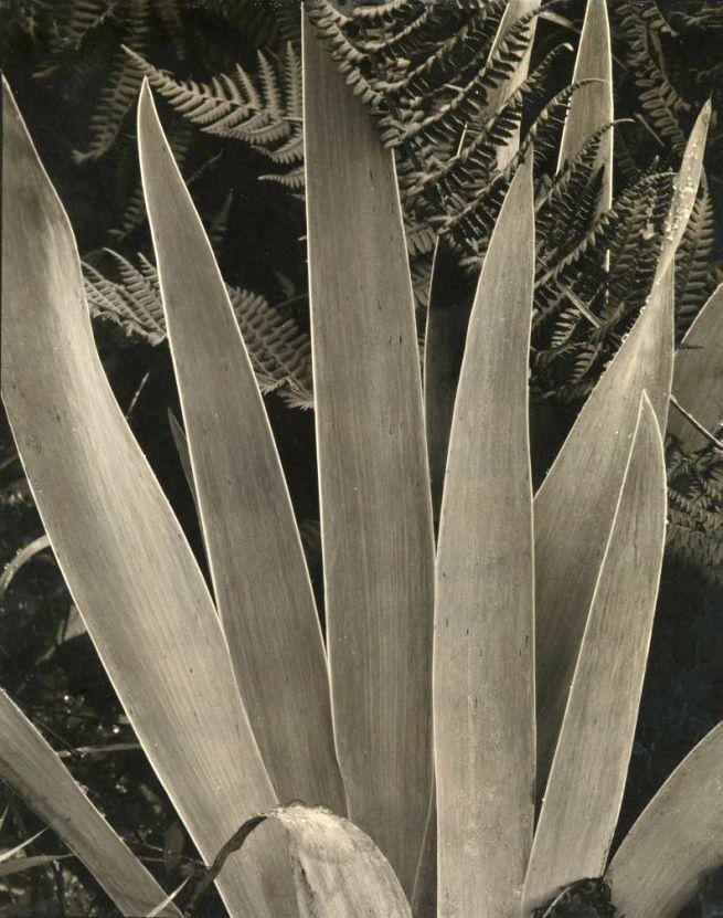 paul strand 'wild iris, maine' 1927-28