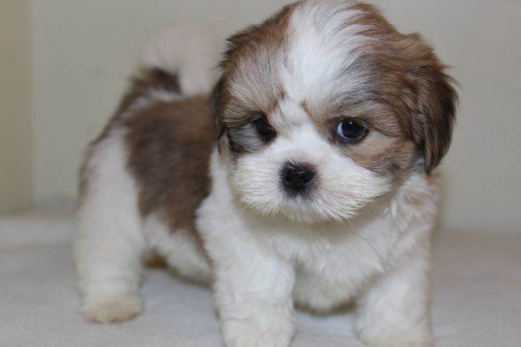 pin mini lhasa apso - photo #41