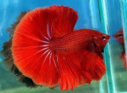 bojovnice pestrá - sladkovní ryba, samci jsou vůči sobě (a někdy i vůči samicím) velmi agresivní