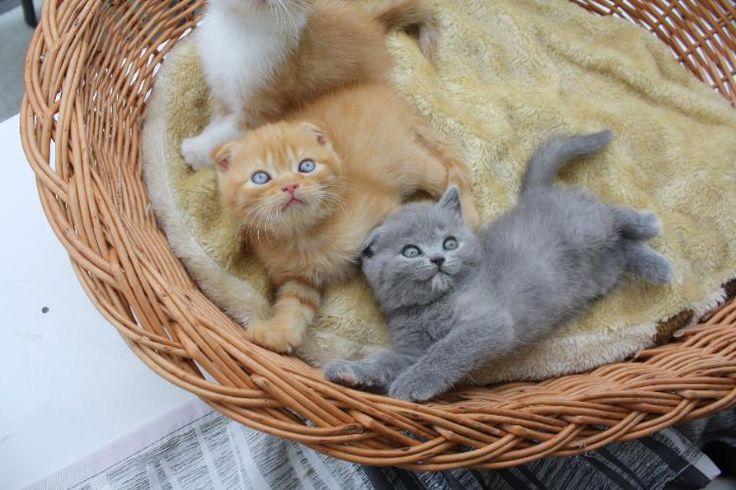 Süsse BKH-Kitten, zu verkaufen in 77704 Oberkirch