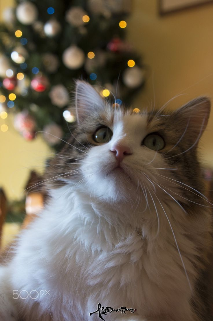 Christmas time with Pallina - Pallina, my pretty cat at Christimas time