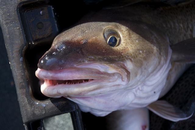 Fogo Island fishing. Cod, a cultural touchstone #fishing #newfoundland