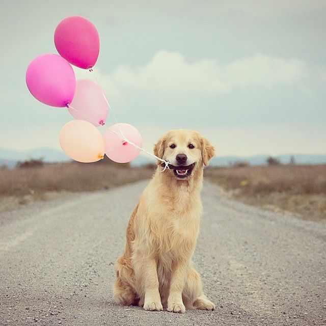 PHOTO OP: A Dog and His Balloons Via clari_calahari. Love animals as much as we do? Check outexplore.org's network of live puppy and kitten...