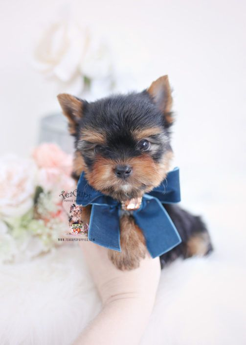 Yorkie Puppy For Sale Teacup Puppies 200 A Teacup Puppies Cute Teacup Puppies Yorkie Puppy