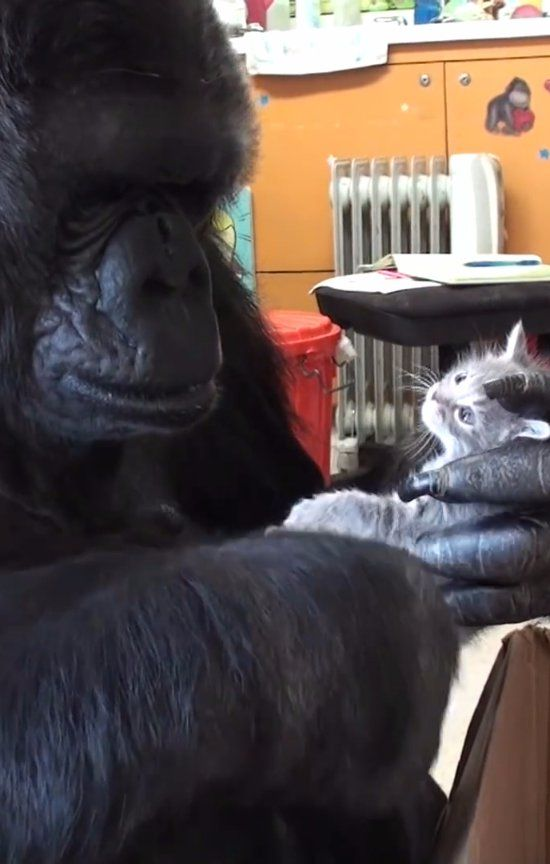 Koko the Gorilla and Her 2 Kittens Are Painfully Precious