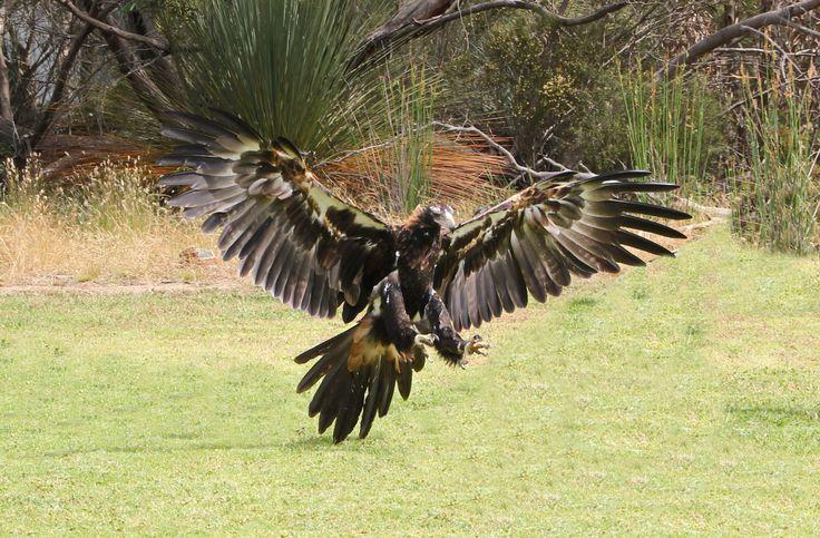 wedge-tail-eagle-landing