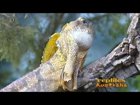 inland bearded dragon - pogona vitticeps hagedis frilled lizard - clamydosaurus kingli - Looking for broadcast footage? Don't shoot! Contact http://www.stockshot.nl/ ©