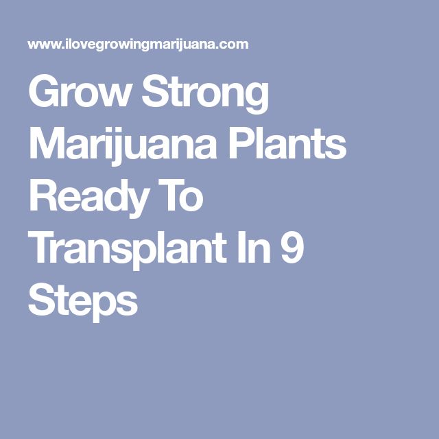 Grow Strong Marijuana Plants Ready To Transplant In 9 Steps