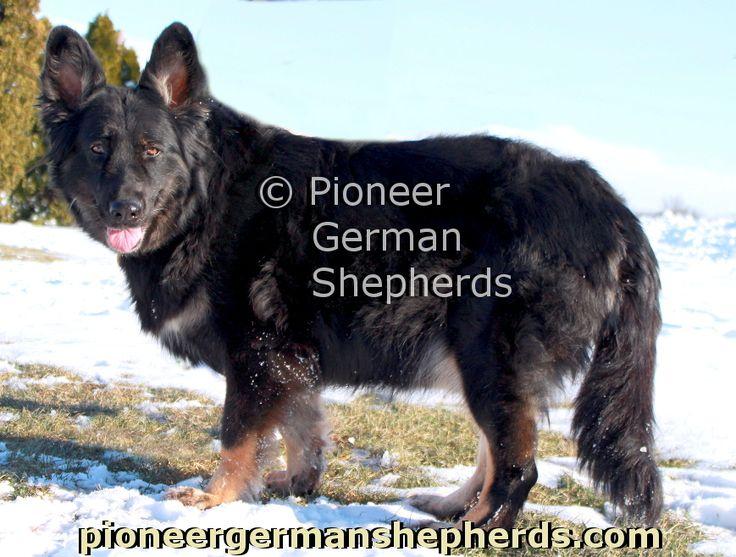 Best Dog Food For German Shepherds Australia