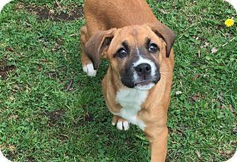 Boxer Mix Puppy for adoption in Hainesville, Illinois - Hattie