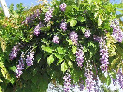 17 best images about plantas venenosas on pinterest cas america and autumn - Plantas ornamentales venenosas ...
