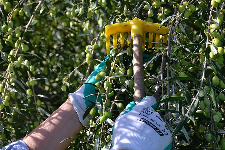 Harvesting the olives