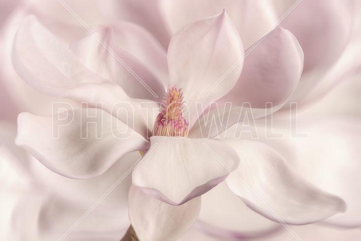 White Magnolia - Fototapeter & Tapeter - Photowall