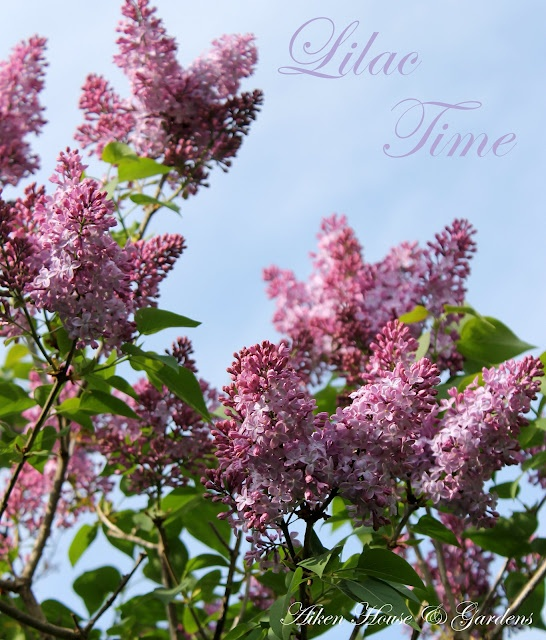 Lilac time!Lilac Trees, Lilac Bloom, Lilac Time, Scented Lilac