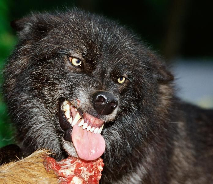 El canibalismo entre los lobos es muy común. Es que existen pocos animales carnívoros y oportunistas tan eficaces como los lobos, que jamás pierden la chance de comer. Es sabido que cuando un miembro de la manada está enfermo, malherido o apunto de morir, es devorado por todo el grupo. Ésto tiene mucho que ver con el clima y las implacables regiones en las que habitan.