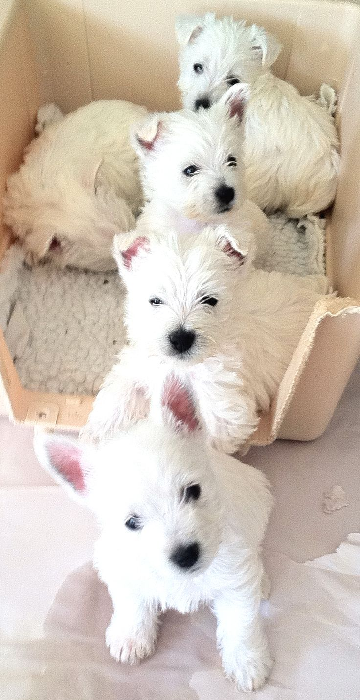 Westie Pups all in a Row!