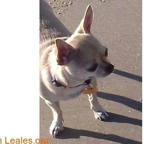 .  FECHA Y CATEGORÍA:  creado el 23/11/2017  categoría: #Perros perdidos  UBICACIÓN DE LA PUBLICACIÓN:  País: #España  Provincia: #Cádiz  Ciudad: #Rota  TÍTULO DE LA PUBLICACIÓN: Chihuahua perdida en Rota (Cádiz)  DESCRIPCIÓN COMPLETA: Chihuahua perdida el 1 de noviembre por la zona de la feria y avenidas nuevas en Rota(Cádiz) color canela con corbata blanca y raya en medio de la cara hasta el hocico. Es epiléptica y necesita medicación; llevaba correa fucsia con círculos negros y medalla…