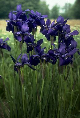 """Siberian Iris, Flags Type: Perennials Height: Tall 36"""" (Plant 20"""" apart) Bloom Time: Spring to Late Spring Sun-Shade: Full Sun to Mostly Shady Zones: 3-9 Find Your Zone Soil Condi"""