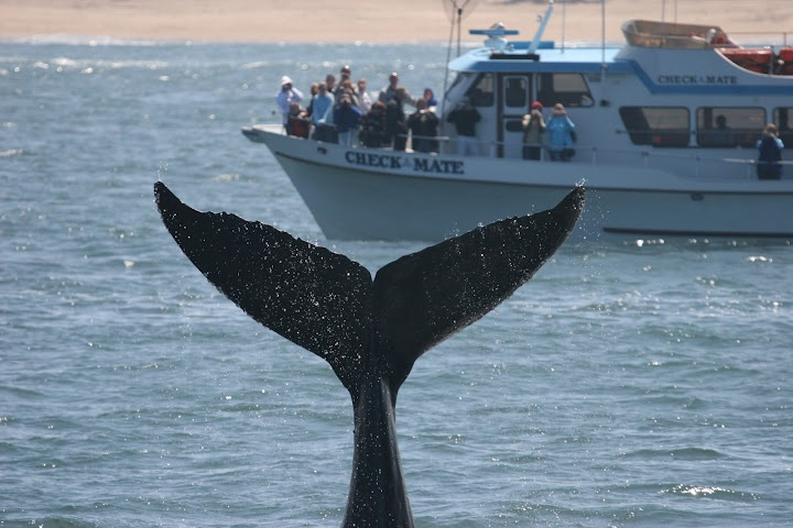 Whale Watching #Monterey on Check Mate #WhaleWatching Daily Departures at 10am & 1:30pm