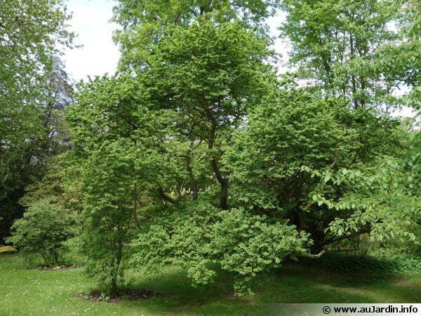 29- Orme de Chine, Ulmus Parviflora