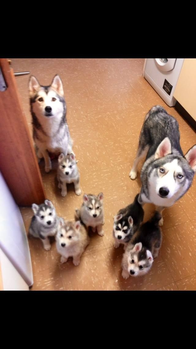 Siberian Husky family waiting patiently for breakfast. ♡