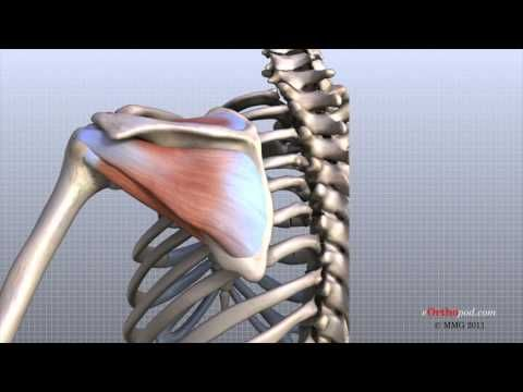 Shoulder Anatomy Animated Tutorial 7 mins. http://youtu.be/D3GVKjeY1FM Great explanation of the Anatomy of the Shoulder! If you have 7 mins and want to better understand how you are built, I highly recommend you watch this!  Parts of the Shoulder Explained: Bones Joints Ligaments Tendons Muscles Nerves Blood Vessels and Bursa