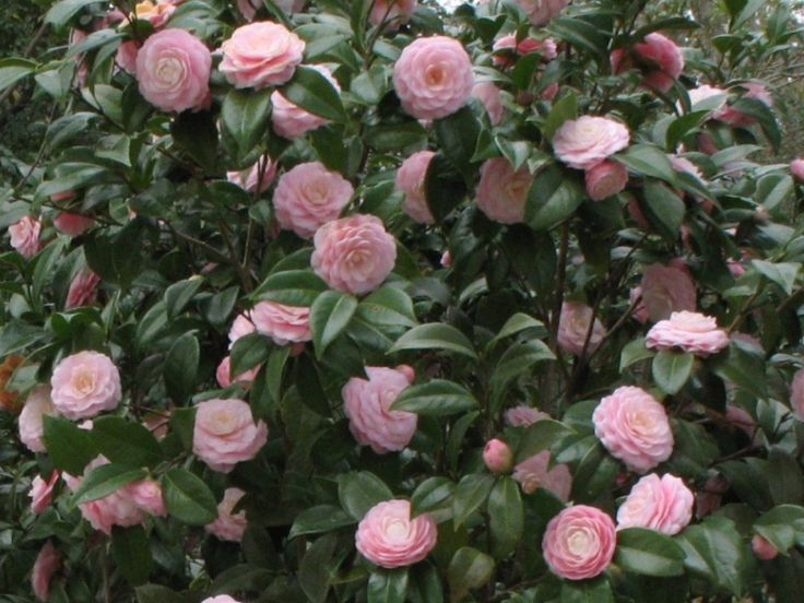 camellia japonica 39 pink perfection 39 great as shade plant. Black Bedroom Furniture Sets. Home Design Ideas
