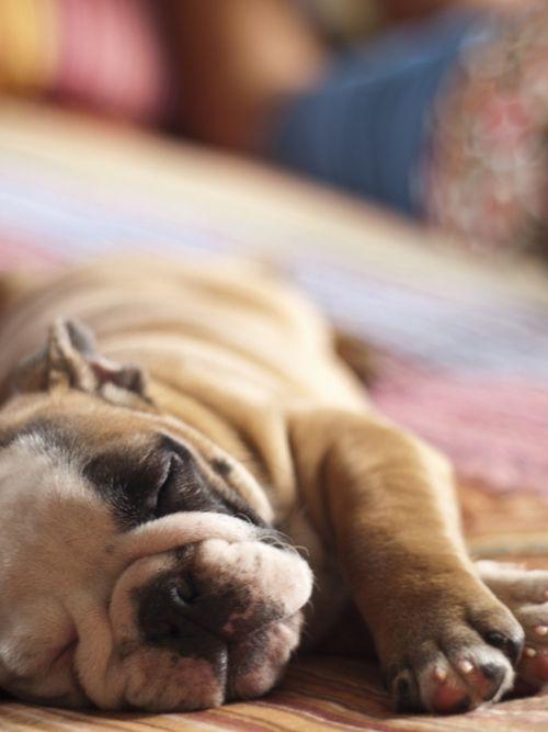 English Bulldog puppy naptime
