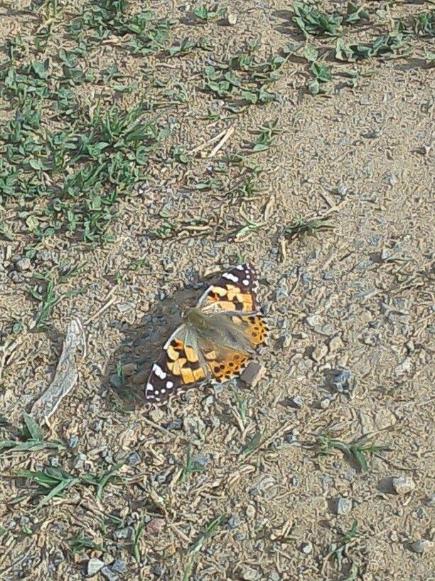 Una farfalla molto socievole :)