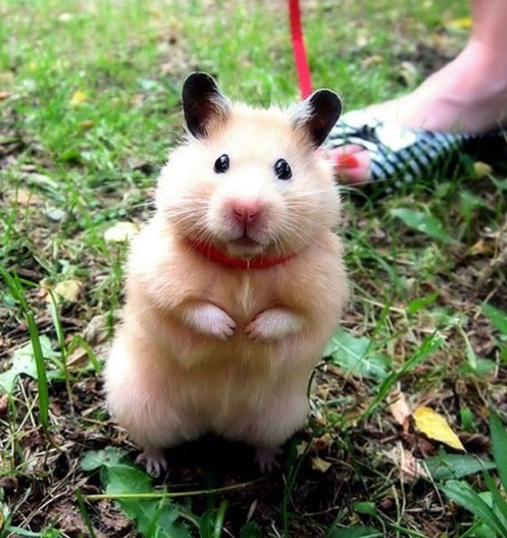 pufflehug:  cutestofthecute:  (via)  please don't leash your hamsters. It's a good way to kill or injure them :(  Note to my followers, re: hamster care! I did not know this, and will be deleting the original post.