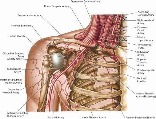 Right Subclavian Artery Anatomy