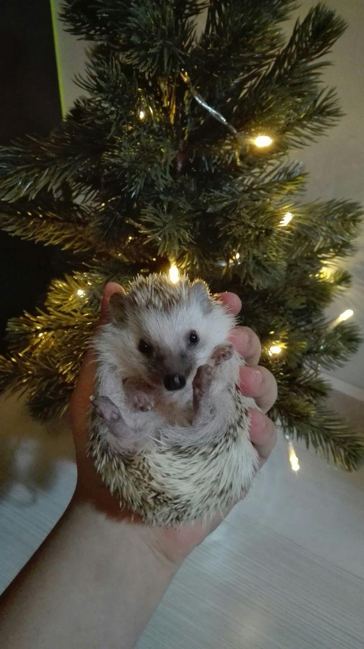 My pet, hedgehog, Rosie, Christmas