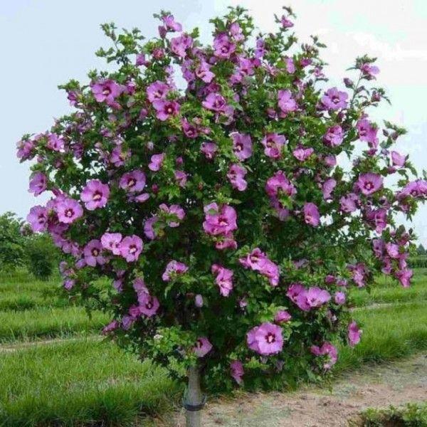 фото сирийской сиреневые розы цветущей организациях ип, которых