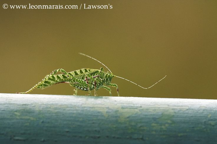Katydid, Kruger National Park.