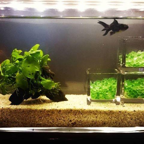 【hisa.hisa.133】さんのInstagramをピンしています。 《•••☞金魚さん元気です☺  #金魚すくい #おまけに#赤色もらう #2匹 #仲良く #元気です #金魚鉢 #ないから #花瓶代用 #アクアリウム #ぽくて #いい感じ #goldfisf #goldfisfscooping  #aquarium #two #healthy  #🐠 #✨ #☺》