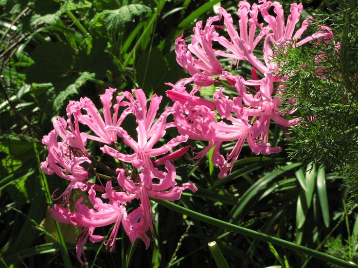 Pink Tinkerbell Agapanthus Flowers Agapanthus
